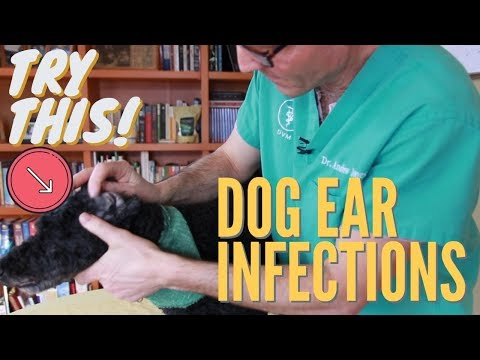 What To Put In A Dog S Ear For Infection