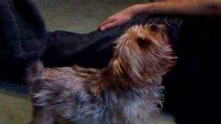 Yorkshire Terrier Howling