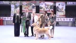 Pameran Anjing Golden Retriever Nasional.m4v