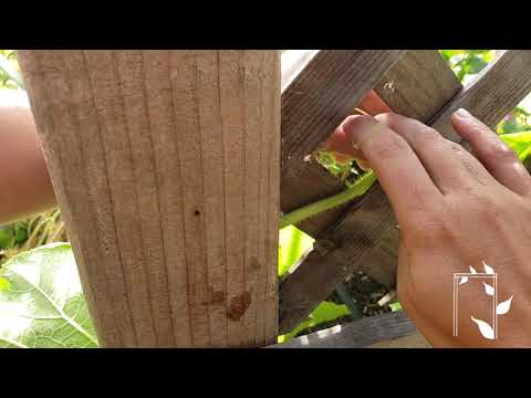 Growing Vertically | Training Vines to Climb a Trellis | Grow Squash Vertically | Garden Quick Tips