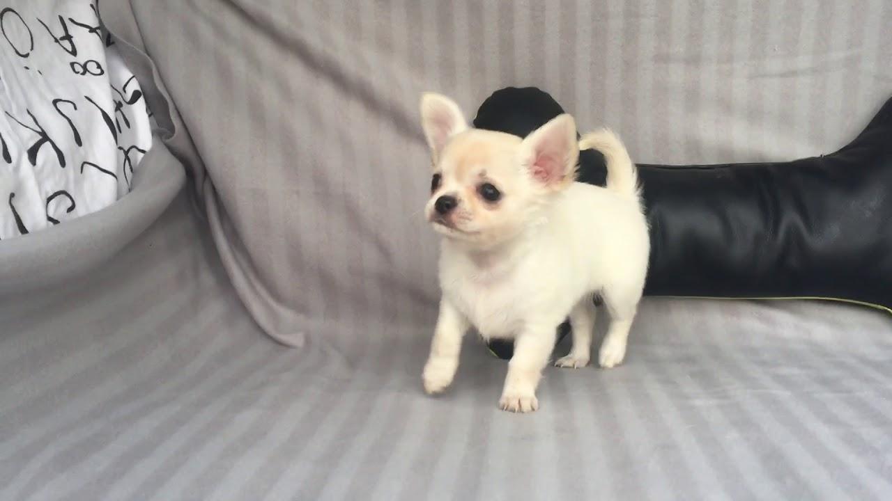 Chihuahua pelo corto blu