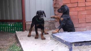 Щенки добермана №2 питомника ФОРТУНАТО ДЕ ЛЮМАР / Doberman puppies FORTUNATO DE LUMAR kennel