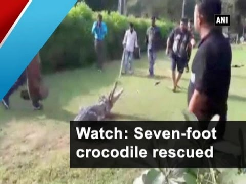 Watch: Seven-foot Crocodile Rescued - ANI News