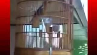 Kicau Mania | Suara Burung | ANIS Merah Gacor Volume Keras Teler Mantap