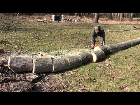 """Felling And Bucking Poplar Trees With The 18"""" MS 290 STIHL #9"""