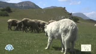 Maremma-abruzzi Sheepdog, Italian Pride Eng Trailer   Hd 720p