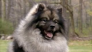Keeshond  small size dog breed
