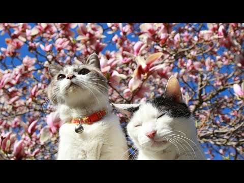 木蓮の花と猫 2021 210501