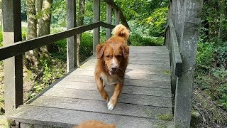 Happy Dogs in the Forest  Nova Scotia Duck Tolling Retrievers