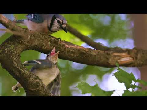 Fussy baby blue jay prefers mom to dad feeding it (video)