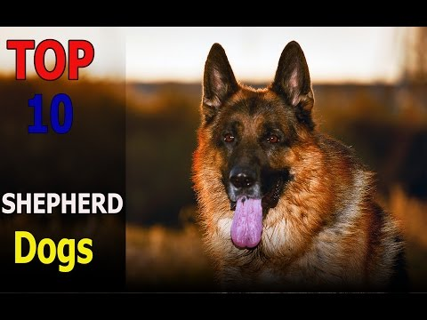 Top 10 Shepherd dog breeds | Top 10 animals