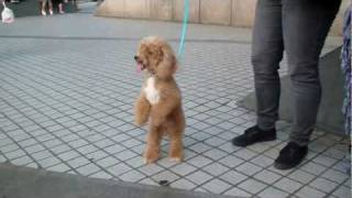 Walking Red Poodle! (taiwan)