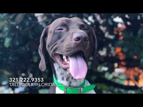 "2 Year Old German Short-hair Pointer ""Sawyer"" 