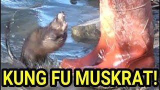 Kung Fu Master Muskrat vs Novice Mink