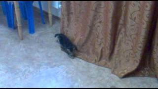 Британские котята даром.mp4
