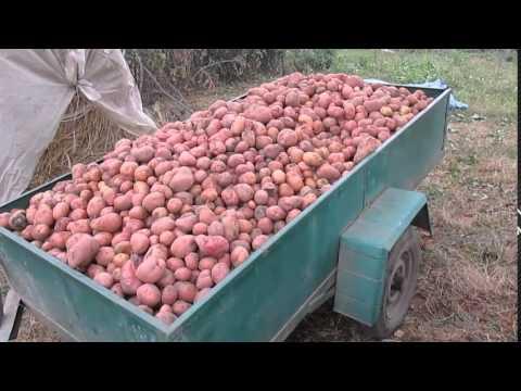 Картофель Лучшие сорта картофеля