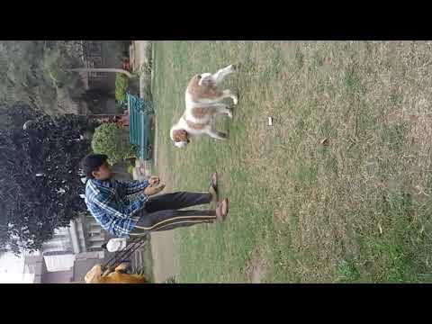 saint bernard agressive dog (ANGEL)........... (MADE BY: PRATEEK KUMAR)