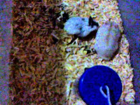 hamster gue kawin