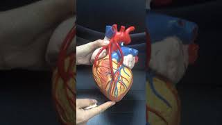 kalp anatomisi, coroner damarlar, sinus coronarius