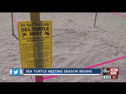 Florida Sea Turtle Nesting Season Begins