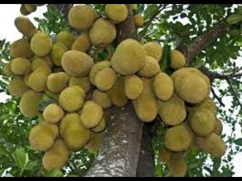 You can be a Successful Farmer by Farming Jackfruit |halasina Hannu|