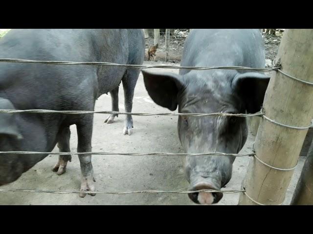 Chiqueiro de porco feito com arame liso