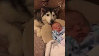 Husky & Baby Becoming Best Friends! #shorts