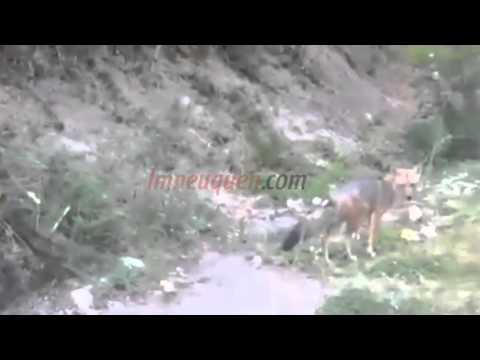 Piden que trasladen a un zorro que vive al costado de una ruta