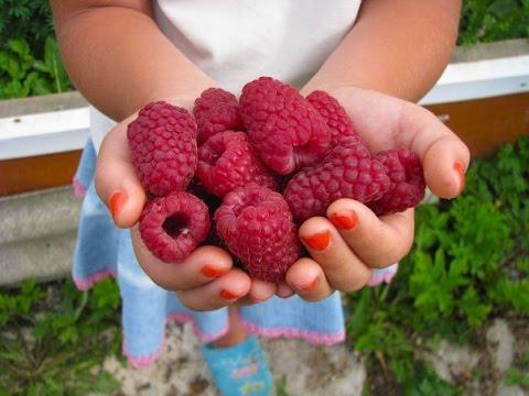 Описание сорта малины Гусар, отзывы, фото