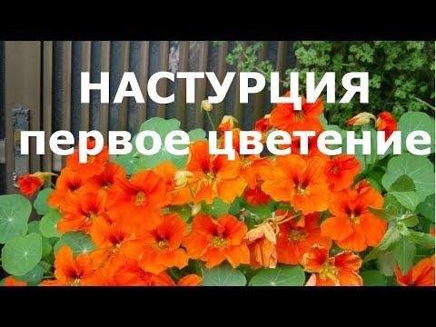 Настурция первое цветение