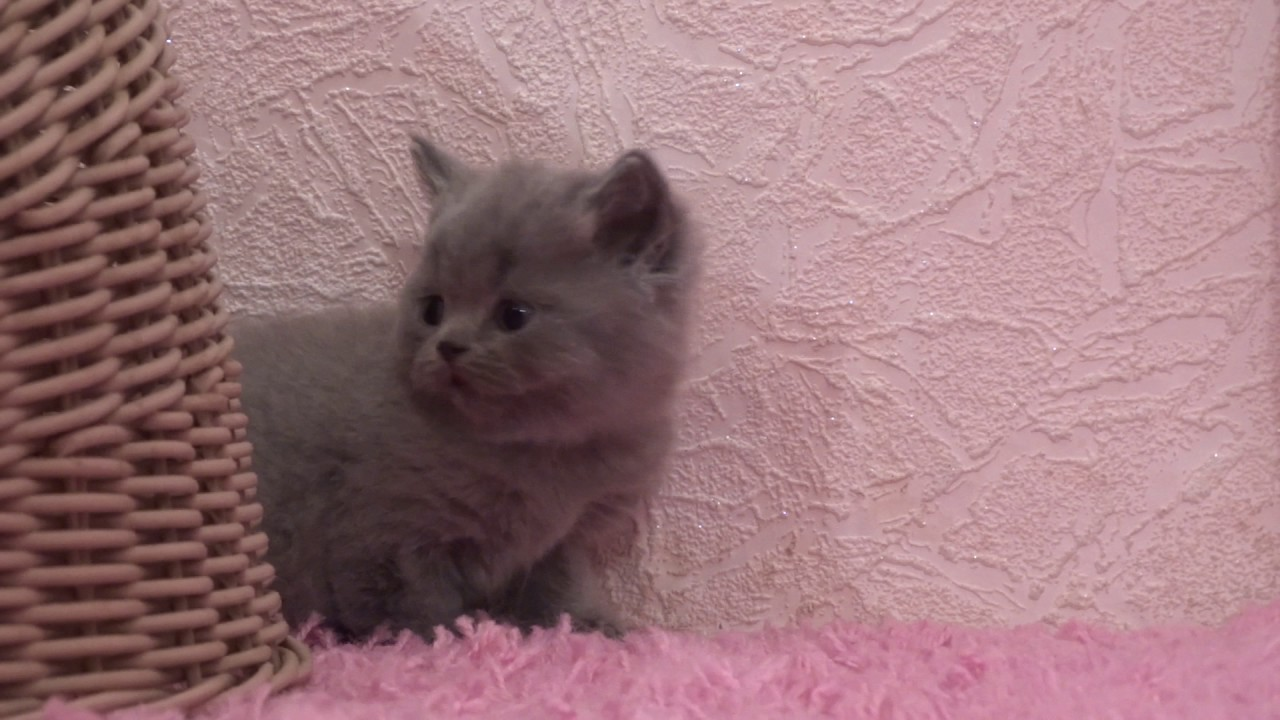 British shorthair kitten for sale 1 month