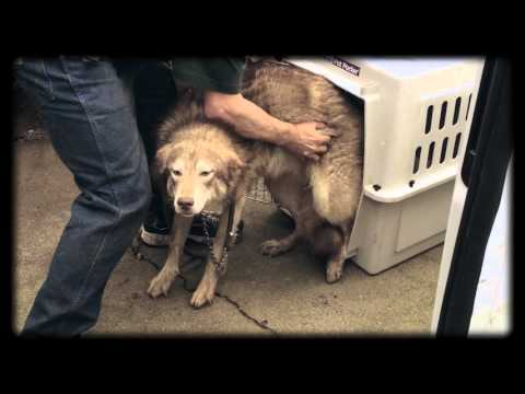 19-huskies-rescued-from-eugene-house