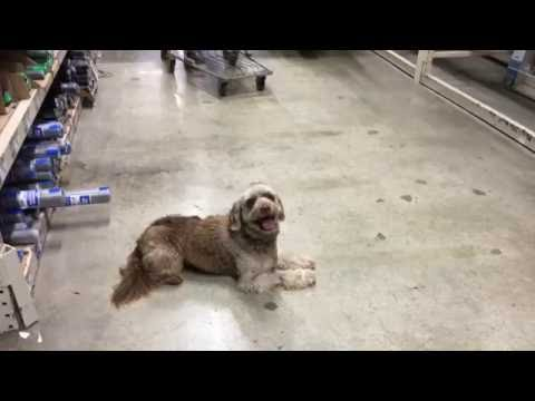 """2 Year Old Poodle Mix """"Jackson"""" Before/After Video 