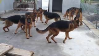 Tri ch becgie V Trng Hu, x Tn Ha, V th,Thi Bnh- German Shepherd Dog-Gsd- Dog Kennel