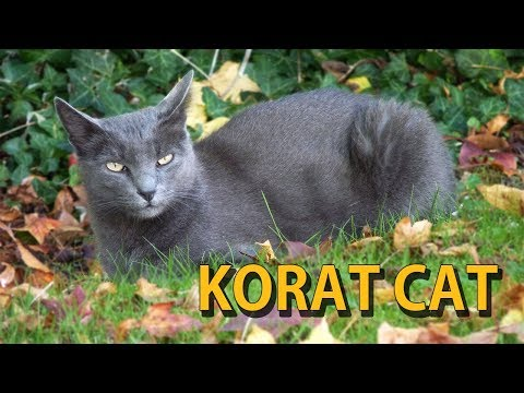 KORAT CAT | THE SILVER-TIPPED BLUE GREY CAT | ANIMAL BEAST