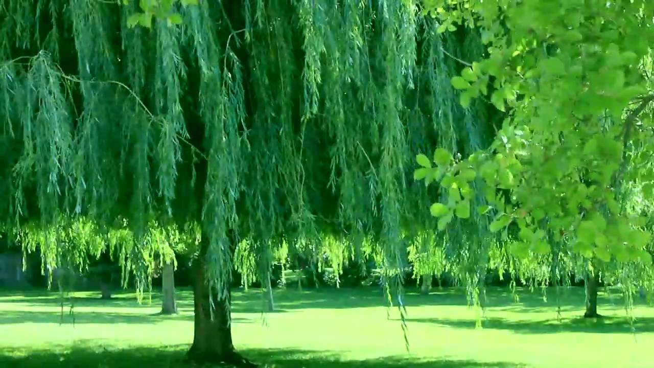 green trees live background mov youtube
