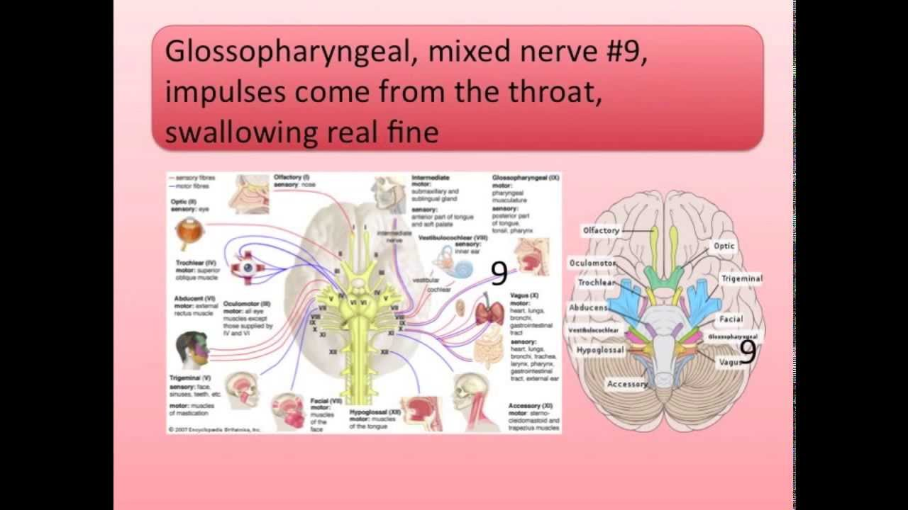 Cranial nerves song youtube cranial nerves song ccuart Gallery