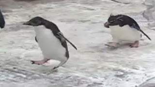 Distraction: Penguins chase after butterfly