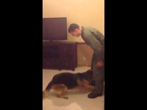 German Shepherd Dog goes crazy welcoming home Marine