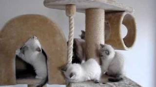 Kittens in the scratching and climbing frame