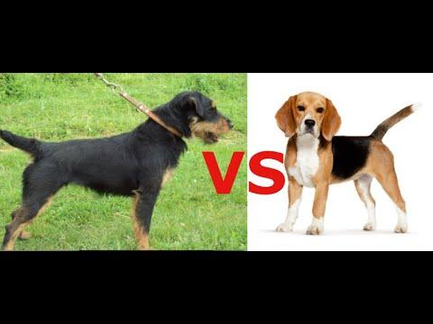Какую собаку выбрать для семьи где есть дети ? Какая собака круче Бигль или Ягдтерьер ???