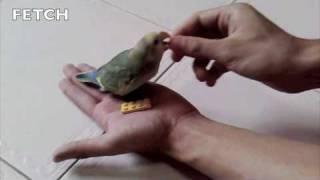 How Many Tricks Can a Lovebird Learn - Kiki Video Tribute - Bryan