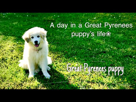 A day in a Great Pyrenees puppy's life.
