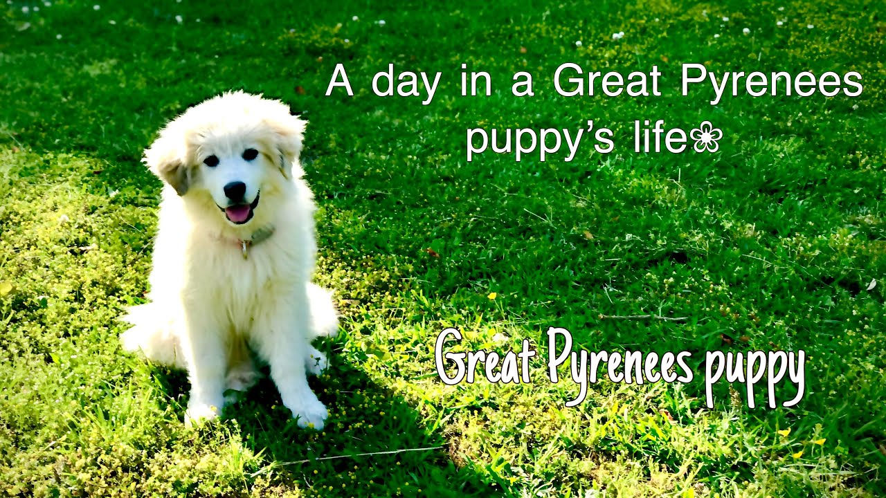 A day in a Great Pyrenees puppy's life. - YouTube