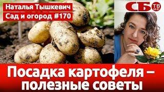Посадка картофеля – полезные советы