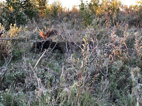 2020 DIY Alaskan Moose Hunt story 16B