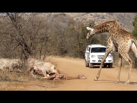 Thumbnail: Giraffe Tries Saving her Calf From Hunting Lions