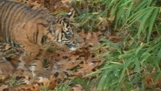 Cute Sumatran tiger cubs make debut at National Zoo in Washington, DC