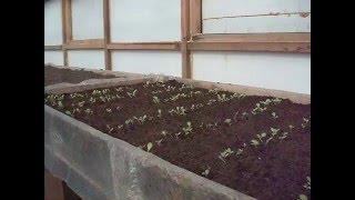 выращивание салата в теплице термосе ч1(выращивание салата в теплице термосе ч1., 2016-03-06T14:32:01.000Z)