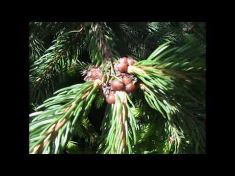 Вопрос: Какие есть вредители и болезни хвойных деревьев?
